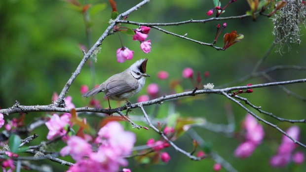 A yuhina among the blossoms at Alishan National Park.