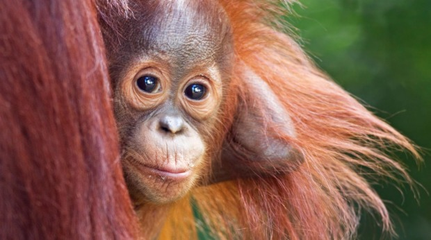 A baby orangutan peers from behind his mother in Borneo.