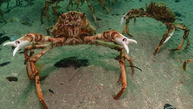 Thousands of spider crabs have invaded Port Phillip Bay for their annual moulting process.