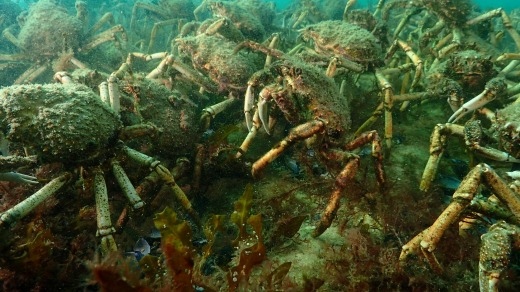 Some swarms can measure up to a metre deep as the crabs climb on top of each other, forming great underwater walls.