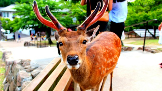 What's happening to the deer of Nara is more tragic than the death of Bambi's mother.