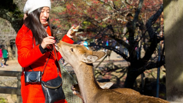 Japan's famous sacred deer are dying and tourists are to blame