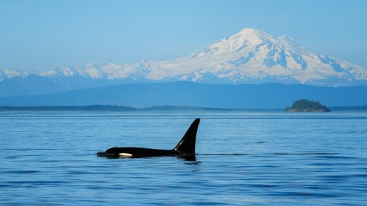 An orca spotted in Boundary Pass, between Canada's Gulf Islands and San Juan Islands in the US.