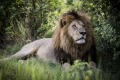 The largest lion in the region, Mombo, Botswana.
