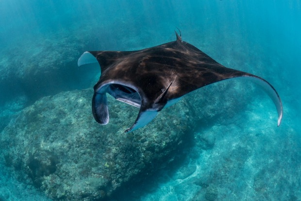 SWIM WITH MANTA RAYS They swoop and dive like butterflies: these giant manta rays with vacuum mouths are anything but ...