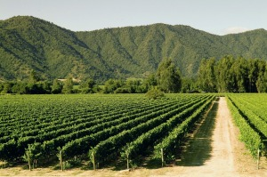 sataug10chile wine industry chile ; text by Elspeth Calleder ; SUPPLIED via journalist ; Veramonte's Carmenere vines