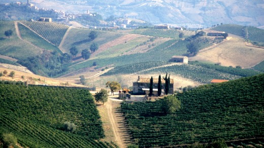 Vineyards in the Le Marche province of Italy.