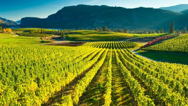 Blue Mountain Vineyard in fall, Okanagan Falls, BC.