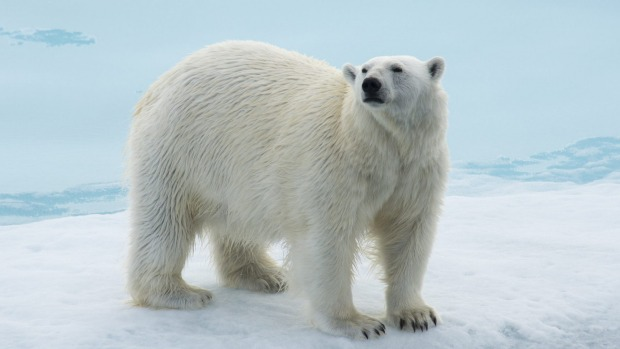 Expect polar bear encounters on the icepack of Svalbard with Aurora Expeditions.