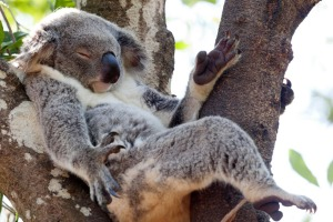 Relax, it's all under control: Koalas sleep up to 18 hours a day.