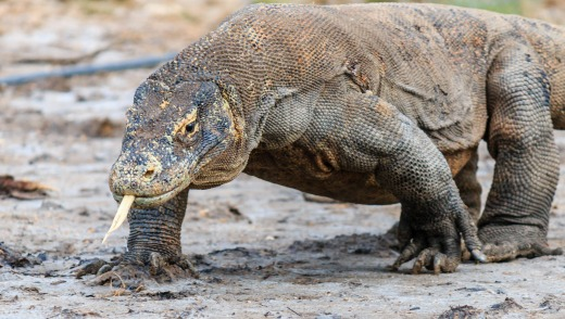 The reduction in tourists is supposedly to protect the resident Komodo dragons, but what does it say about the future of ...