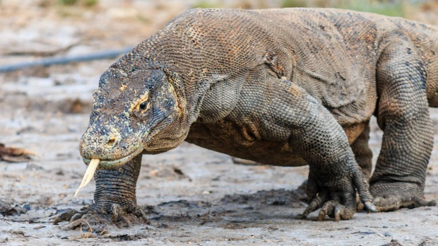 A Komodo dragon, the world's largest lizard. Indonesia plans to ban tourists from Komodo Island to help conserve the animals.
