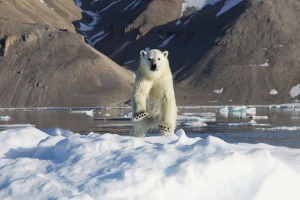 Polar bear sightings are a highlight on a Hurtigruten Arctic cruise.