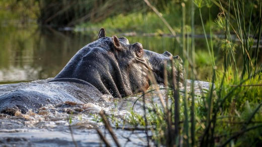 No swimming: A hippo wallows in the waters.