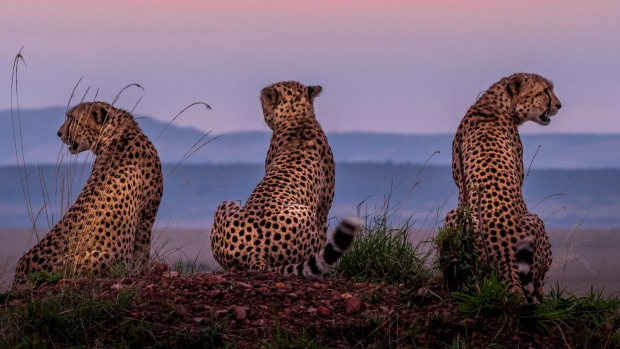 Cheetahs are effortlessly cool.