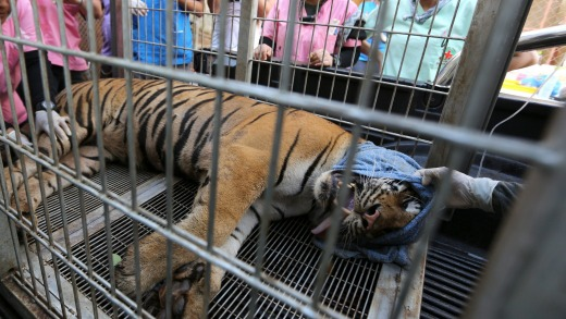 A sedated tiger lies inside a cage prior to its removal from the Tiger Temple in 2016.