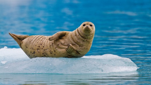 Harbor seal hauled out on ice calved from the South Sawyer Glacier in the Tracy Arm-Ford's Terror Wilderness area, ...