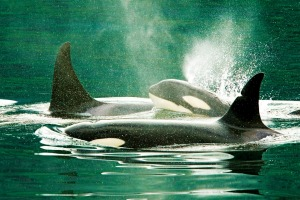 A family of orca in Johnstone Strait, Vancouver Island.