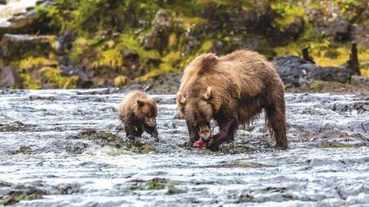 Mother brown bear feeding on pink salmon at low tide with her COY (cub of year) in Pavlof Harbor, Chichagof Island, ...
