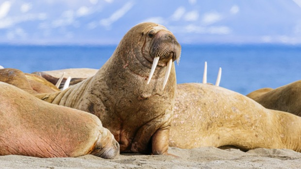 Walruses hauled ashore on the Poolepynten peninsula on Prins Karls Forland island in the Svalbard archipelago.