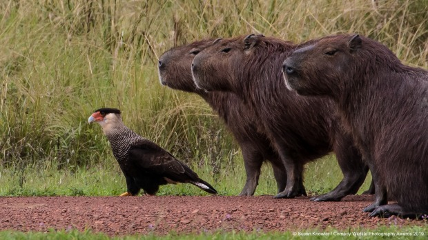 Lost. Once again, Cecil forgot the map! The caracaras and capybaras have a friendly relationship.