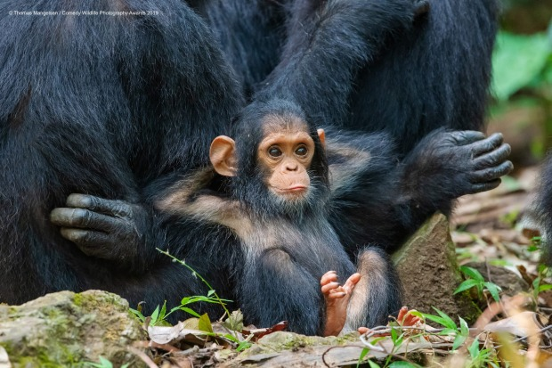 Laid Back. On the last day in Gombe Stream National Park, magic happened when a family group of a dozen chimps came down ...