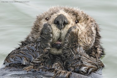 Oh My! Unlike most other marine mammals, sea otters have no blubber and rely on exceptionally thick fur to keep warm. As ...