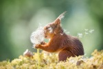 Red squirrel with dandelion seeds.