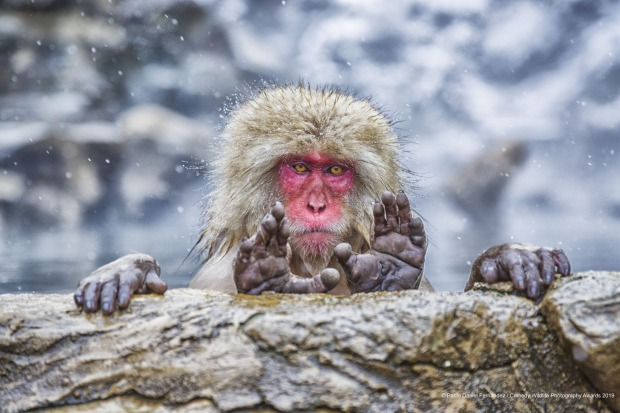 What are you looking for. Japanese Macaque at Jigokudani Monkey Park.