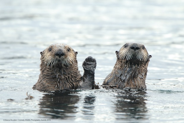 Hi. These Alaskan sea otters are saying 'Hi' to us as we pass by on our boat.