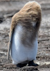 Bad hair day. It's hard to find a good hair gel for penguins. You put in all the work to look like Justin Beiber and ...