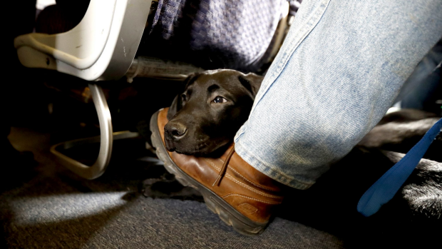 Can you fly with emotional support animals in Australia? The rules around flying with pets