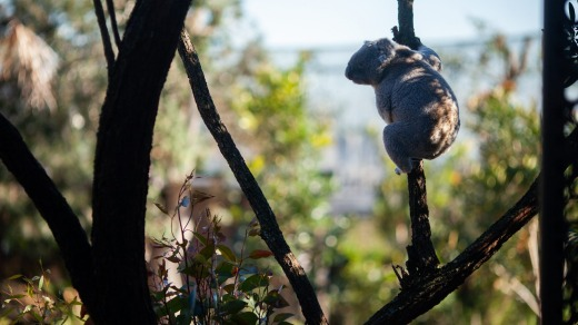 A koala takes in the five-star views at the Wildlife Retreat at Taronga  Zoo.