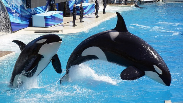 A pair of killer whales, or orcas, jump as they perform during a show at SeaWorld in San Diego.