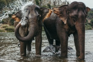 Two asian elephants bathing in a river in Laos.