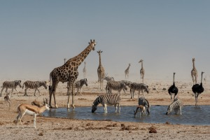 Numerous species gathering at a waterhole at Etosha Pan, Namibia.