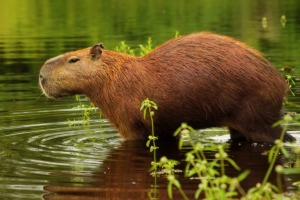 The world's largest rodent, the capybara, in the Pantanal wetlands.