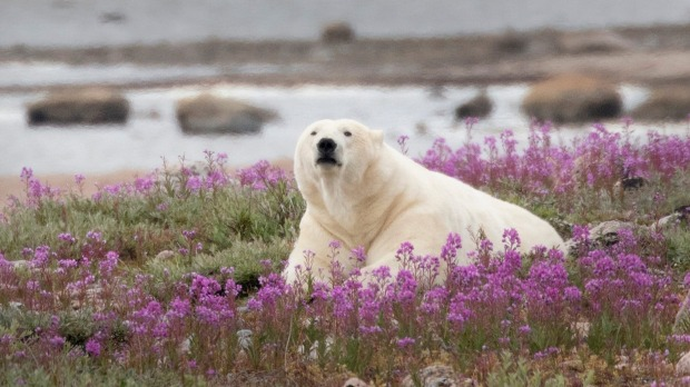 A polar bear rolling in summer wildflowers in Hudson Bay, Manitoba, Canda.