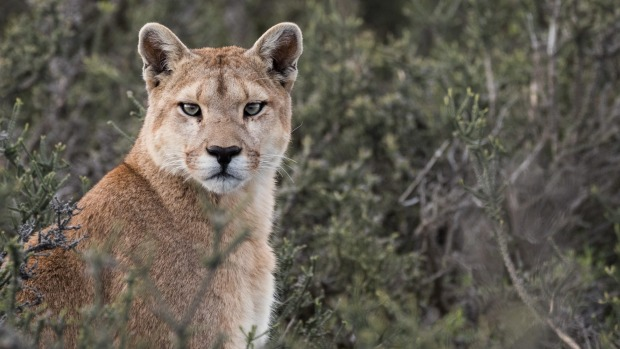 The largest of this mountain lion species, Patagonian pumas can reach 2.8 metres in length.