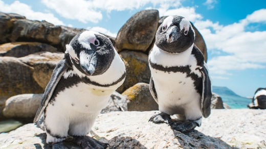 Members of Boulders' penguin colony.