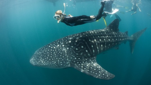 In Indonesia there are no regulations regarding how close you can be to whale sharks.