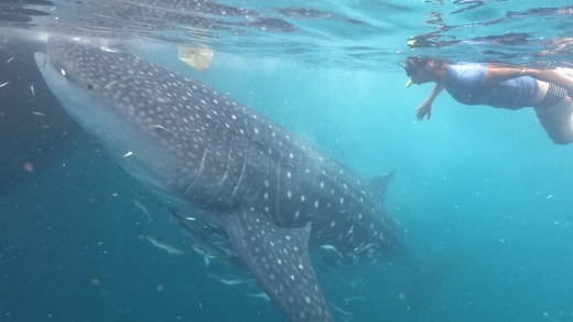 The whale sharks of West Papua's Triton Bay. have developed a remarkable symbiotic relationship with local fishermen, ...