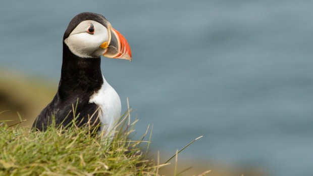 Puffin above the cliffs of Heimaey Island in south Iceland.