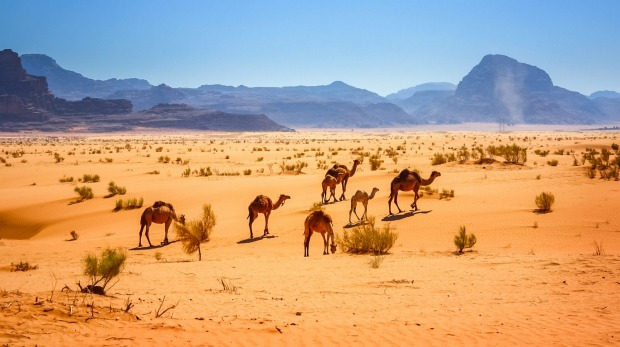 Photo of a small herd of dromedary camels in the Wadi Rum desert in Jordan.