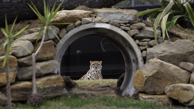 Akiki, one of the zoo's two cheetahs.