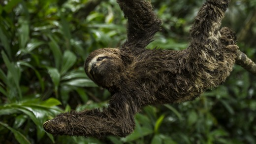 Three-toed sloths hang from the trees.