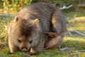 A wombat feeding in the evening sun.