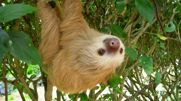 A two-toed sloth hangs from a bush at the Jaguar Rescue Center near Puerto Viejo, Costa Rica.
