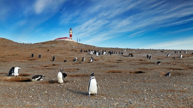 Isla Magdalena is two hours by boat from Punta Arenas and a seasonal home to a colony of Magellanic penguins.