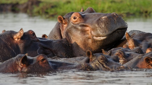 See hippos on a Zambezi river cruise.